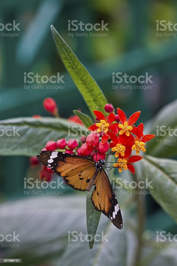 Plain Tiger or African Monarch, Danaus chrysippus stock photo