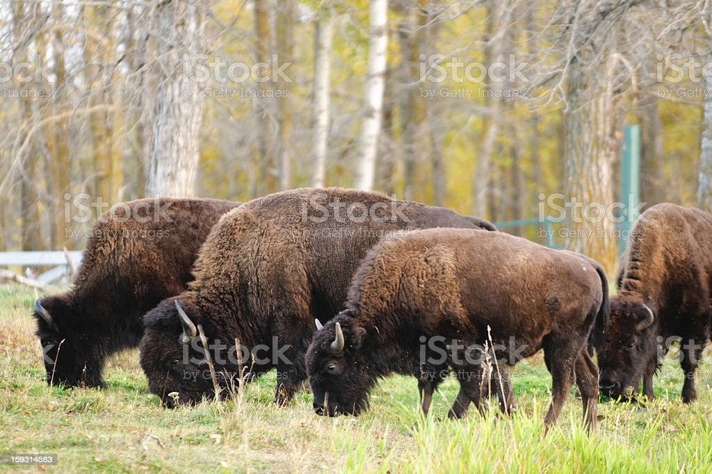 Plains Bison royalty-free stock photo