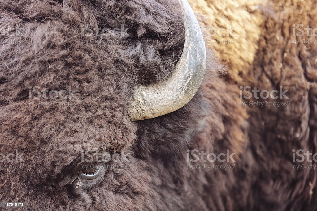 Plains Bison royalty-free stock photo