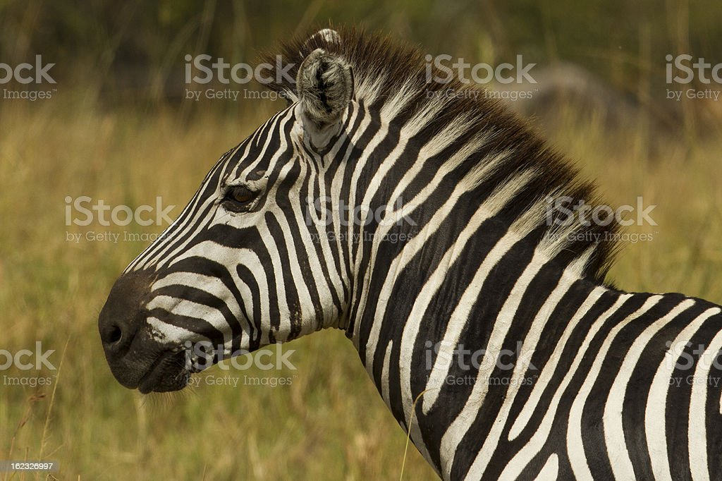 Plains or Burchell's zebra, Serengeti National Park royalty-free stock photo