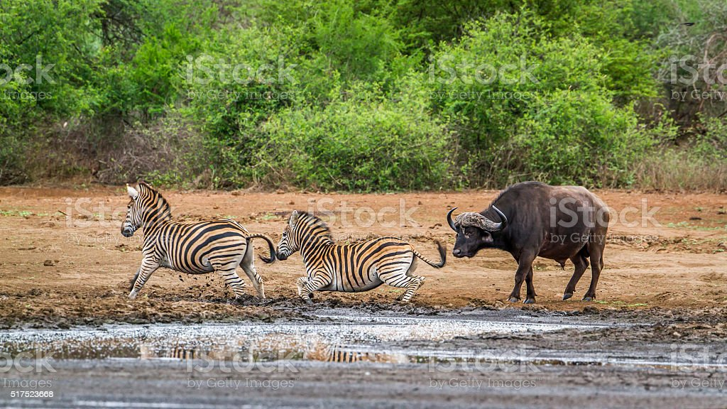 Plains zebra and african buffalo in Kruger National park, South stock photo