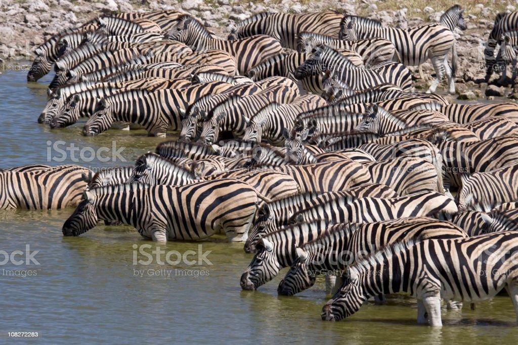 Plains Zebra Drink at Watering Hole, Etosha NP royalty-free stock photo