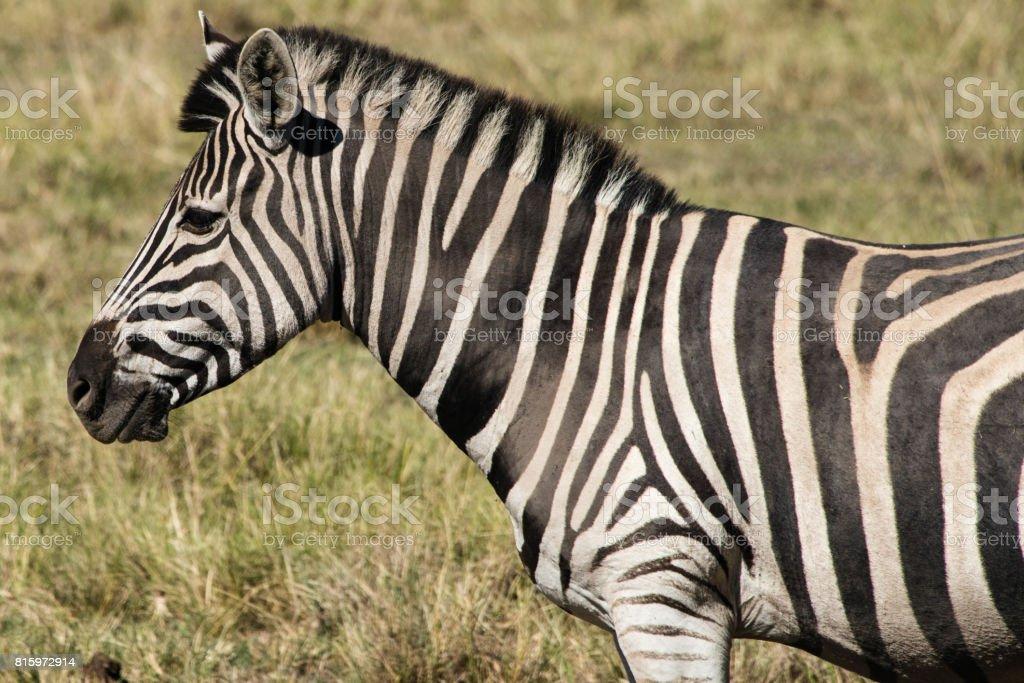 Plains zebra (Equus quagga) in a game reserve in South Africa stock photo