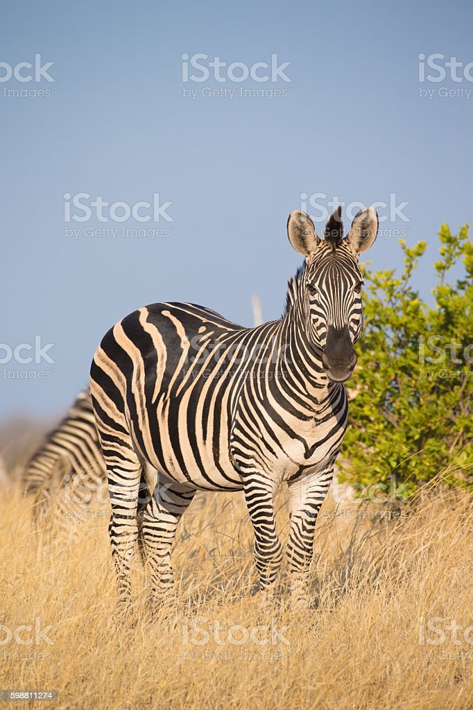 Plains Zebra (Equus quagga) stock photo
