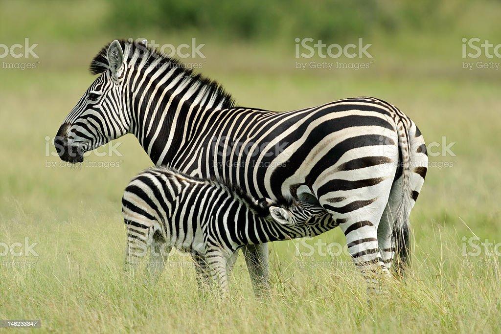 Plains Zebra with foal stock photo