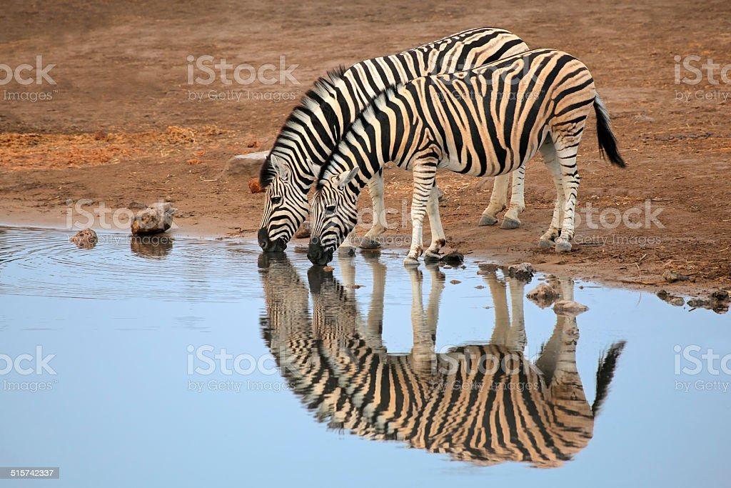Plains Zebras drinking water stock photo