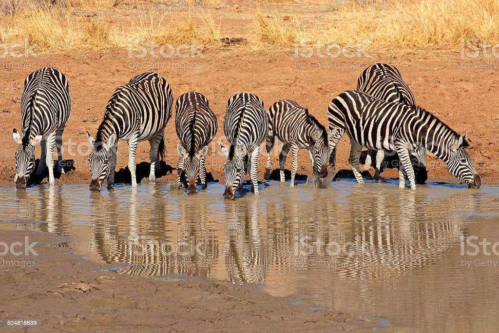 Plains Zebras drinking water stock photo