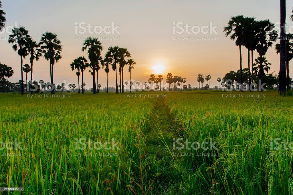 Plam and sunset royalty-free stock photo