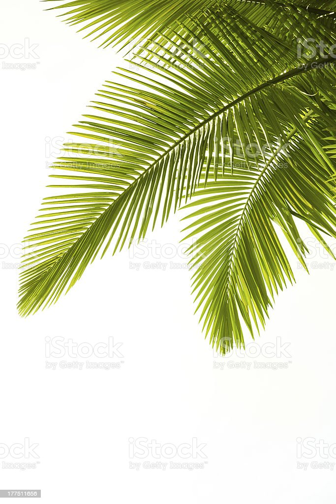Plam leaves isolated on white stock photo