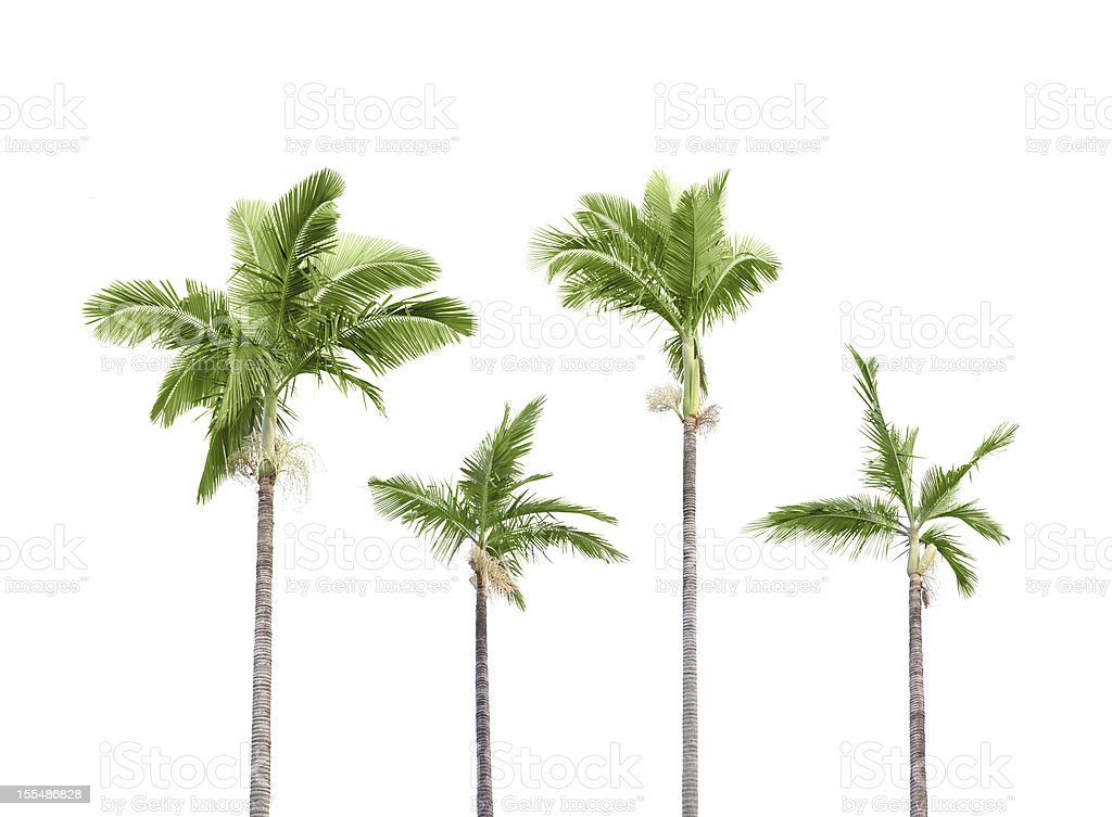 Plam trees on white stock photo