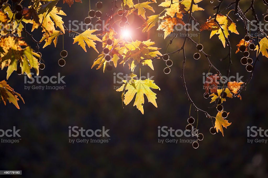 Plane autumn leaves with backlit stock photo