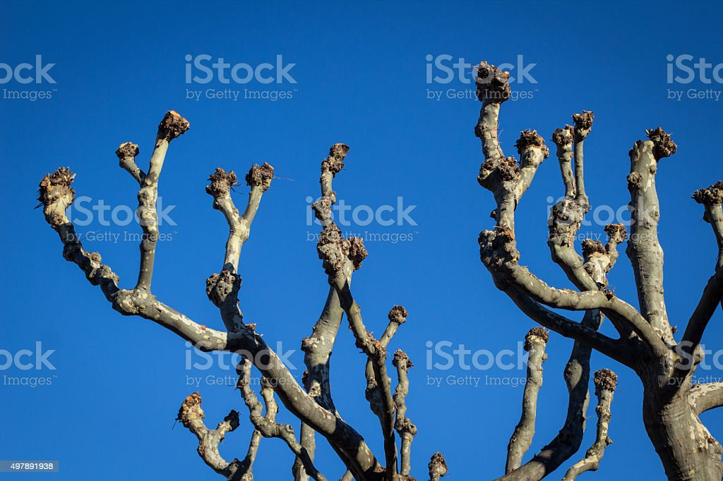 Plane tree branches stock photo