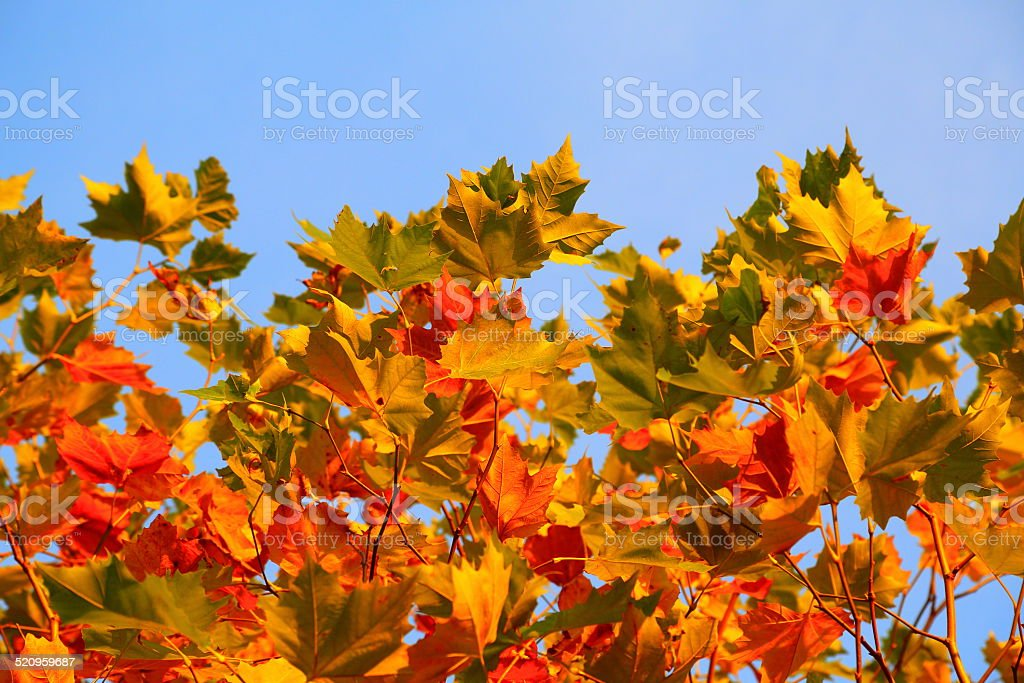 Plane tree - colors of the fall stock photo