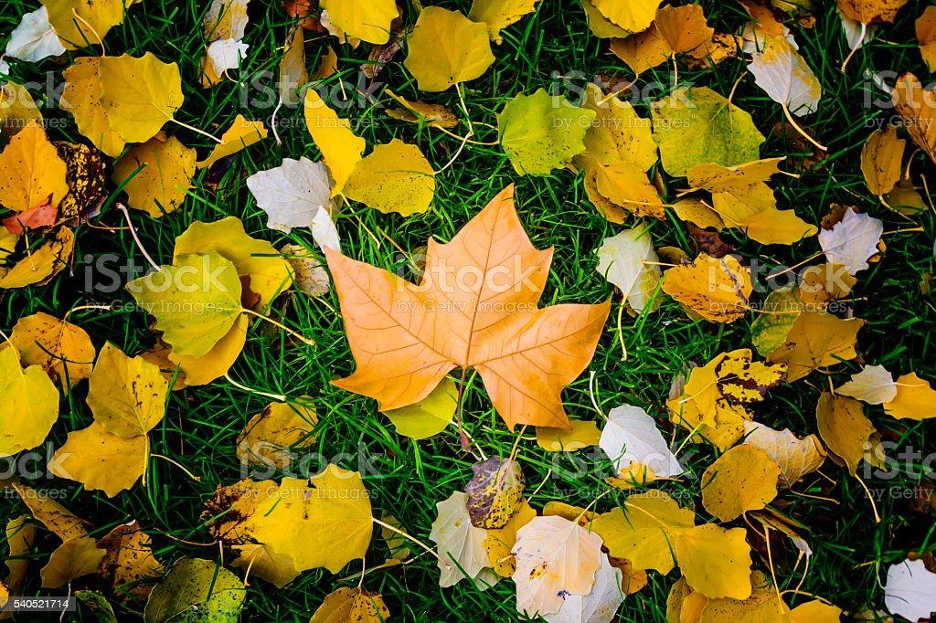 Plane tree leaf among colourful leaves stock photo