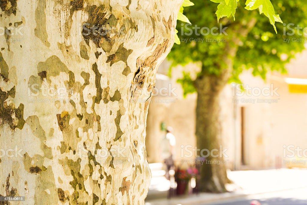Plane tree stock photo