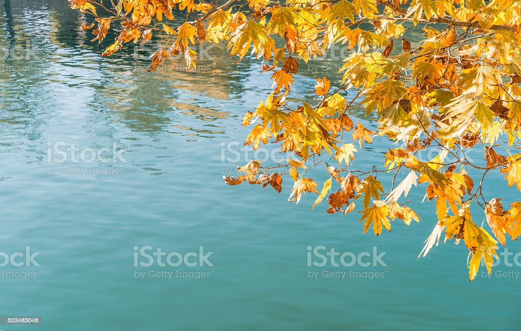 plane-treet leaf  water backgrond stock photo