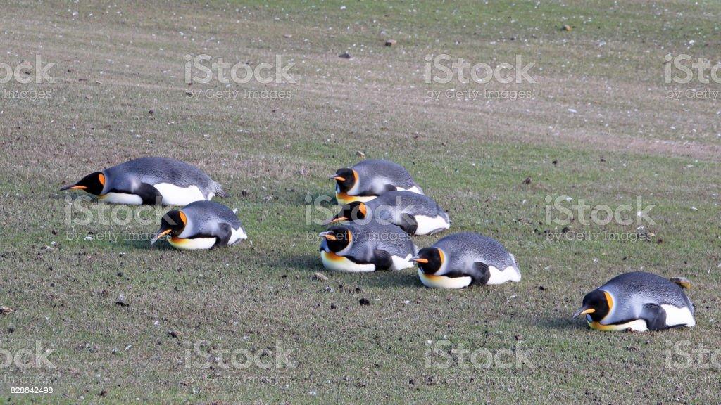Planking King penguins, aptenodytes patagonicus, Saunders, Falkland Islands stock photo