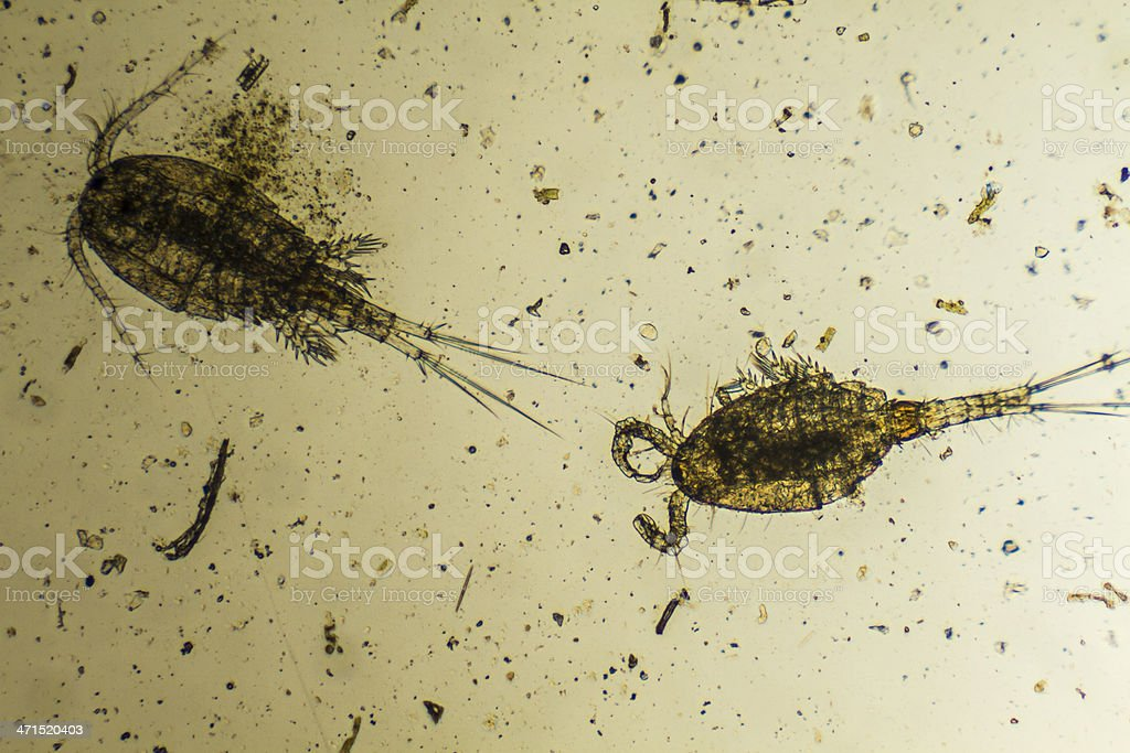 Plankton image under a microscope stock photo
