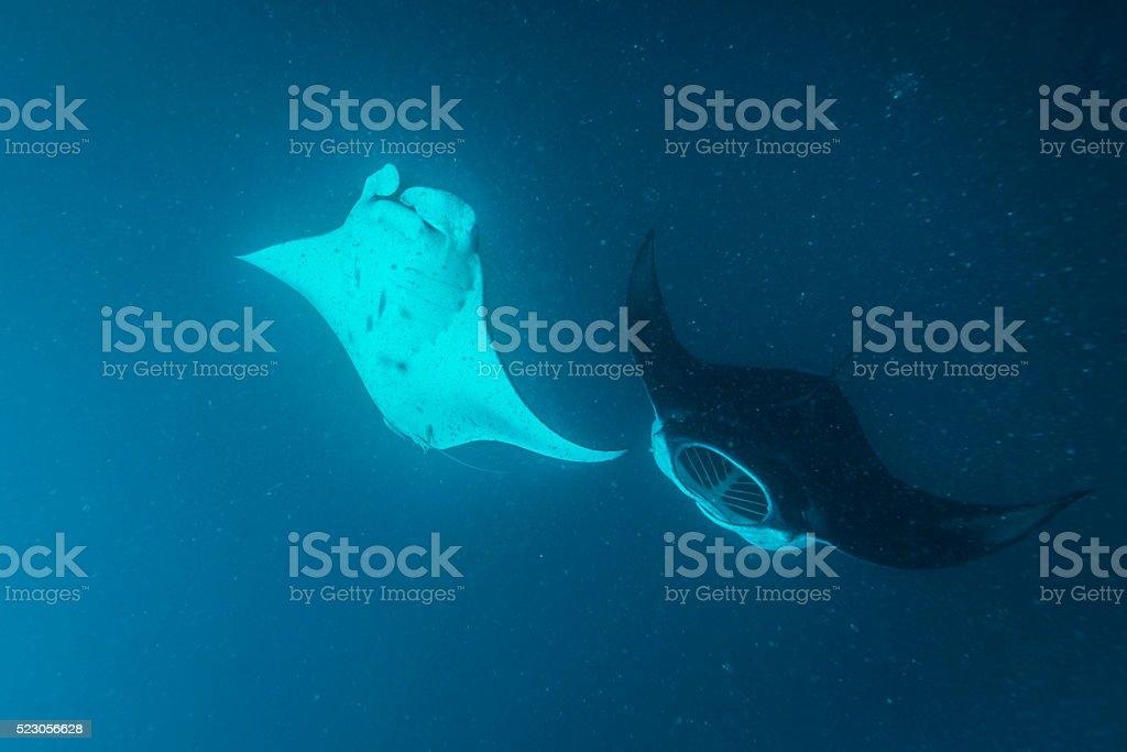 Planktons and Manta Rays - Palau, Micronesia stock photo