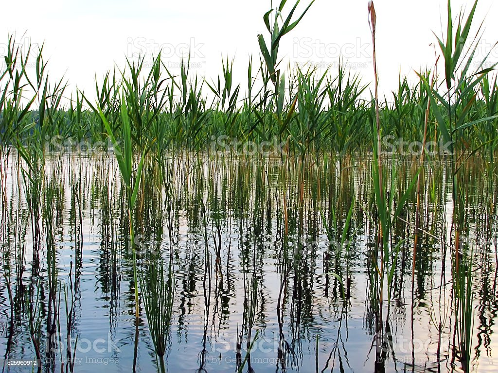 plant aquatic reeds growing in the lake  reflection on water stock photo