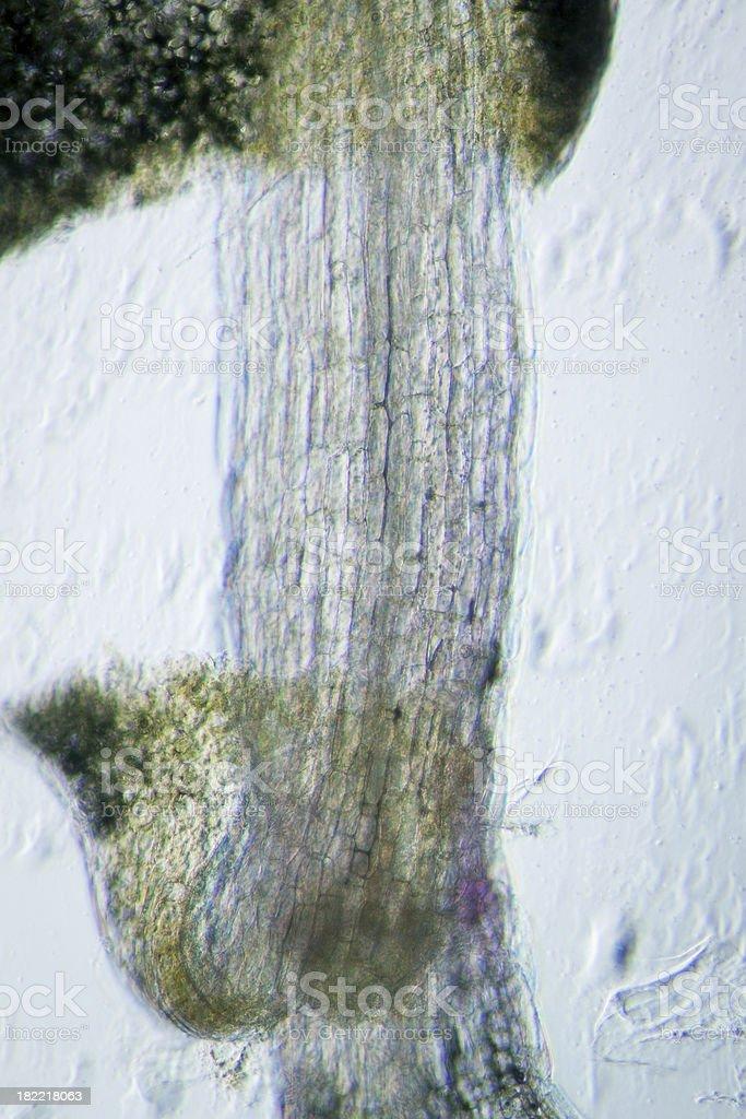 plant arabidopsis thaliana root tissue  micro royalty-free stock photo