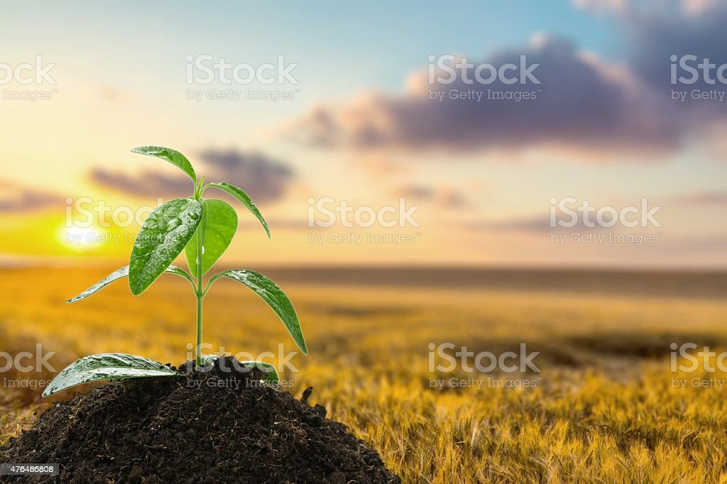Plant, Bud, Sunflower stock photo