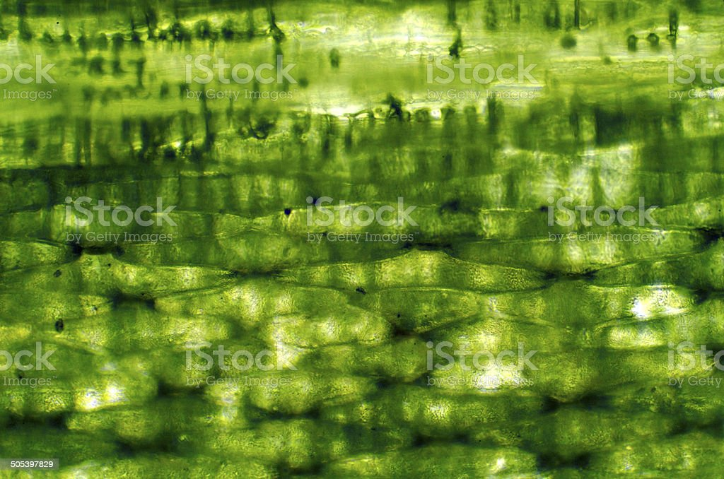 Plant cells under a microscope stock photo