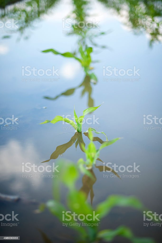 plant corn in water 2 stock photo