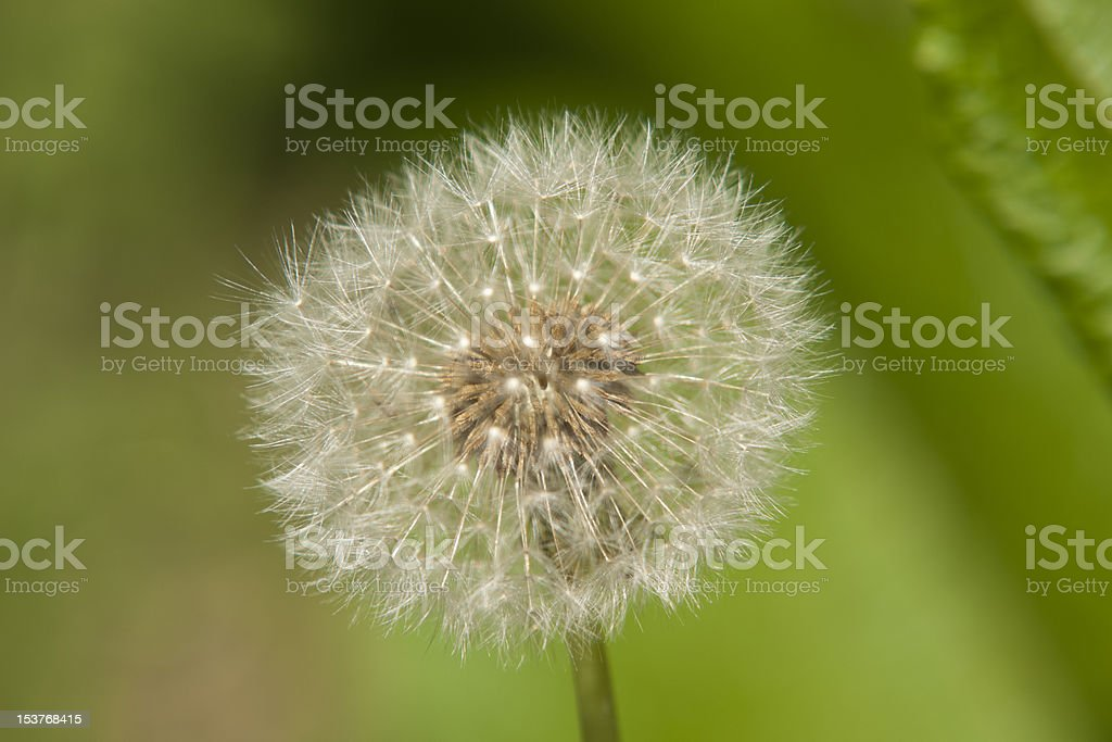 Plant, Dandelion, Taraxacum officinale, seed head stock photo