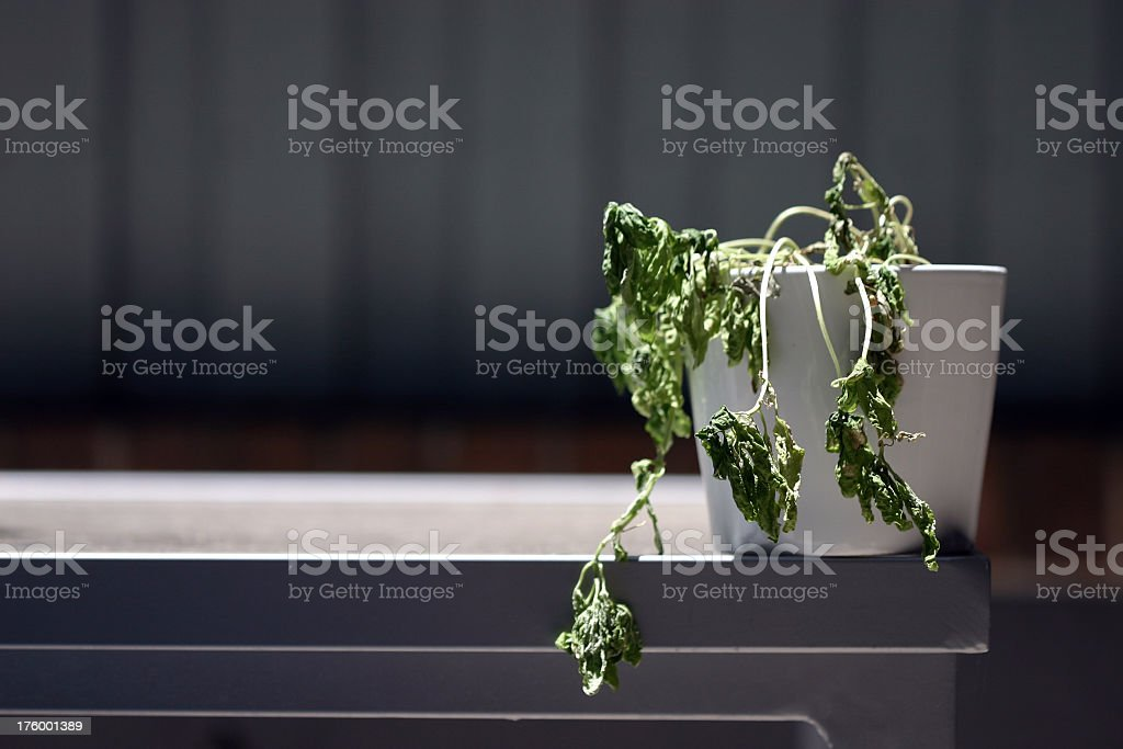 Plant dying in its white pot on the counter stock photo