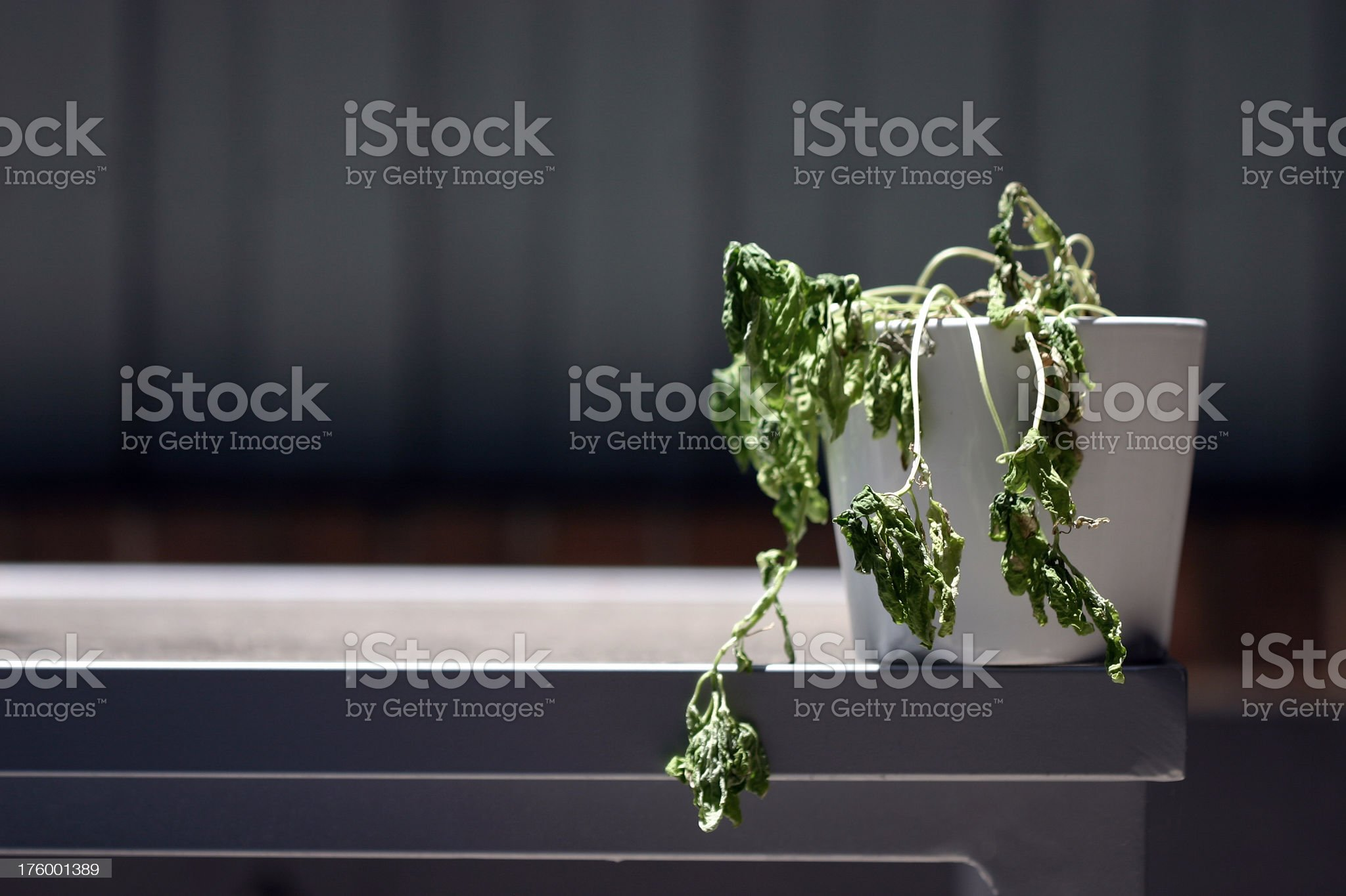 Plant dying in its white pot on the counter royalty-free stock photo