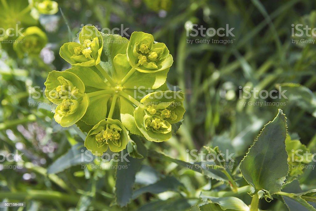 Plant Euphorbia Serrata - Planta Euphorbia Serrata stock photo