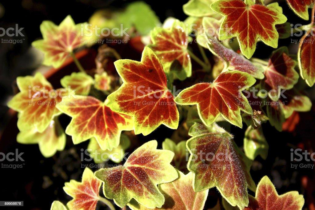 Plant, Geranium stock photo