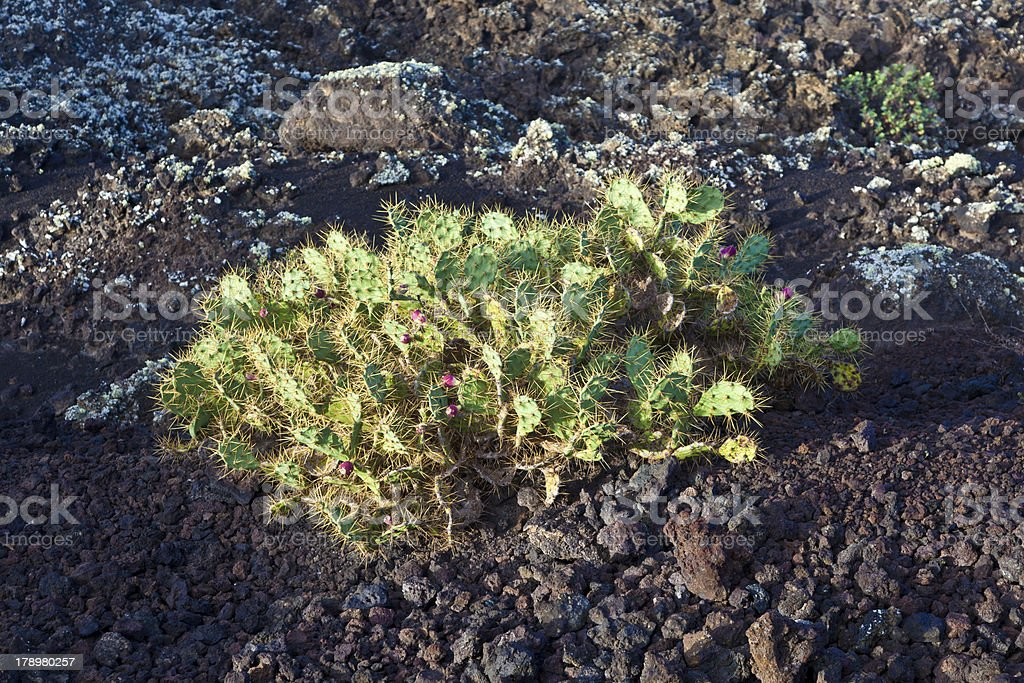 plant growing on volcanic stone royalty-free stock photo
