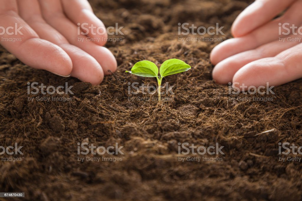 Plant grown from grape seed. Gardener waiting when the grape's plant will grow up. In early spring preparations for the garden season. stock photo