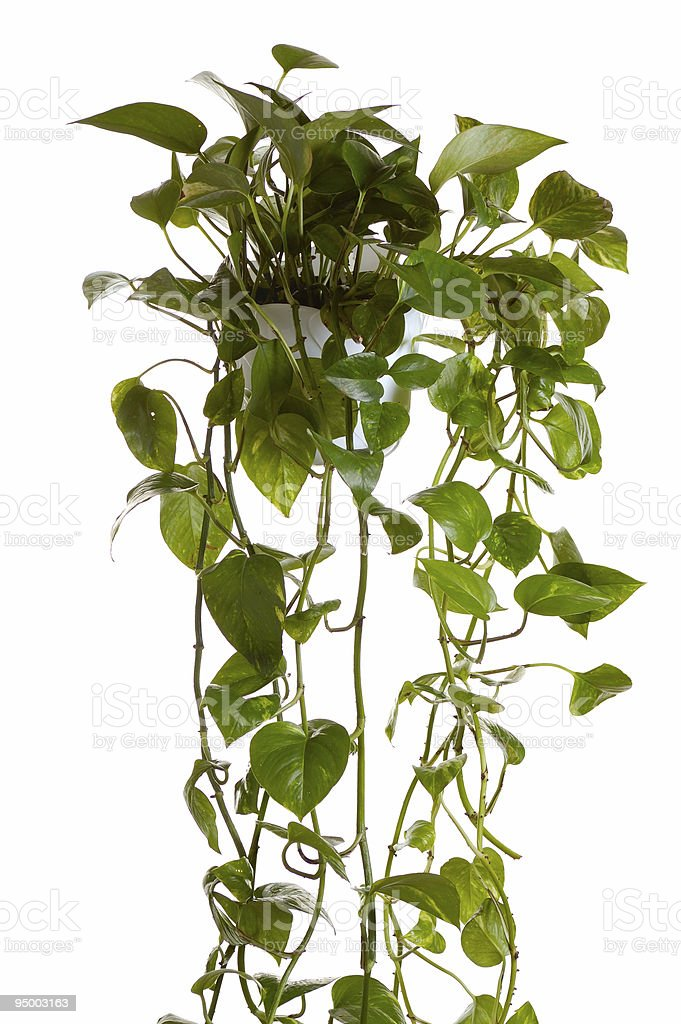 plant  grown in hanging pot royalty-free stock photo