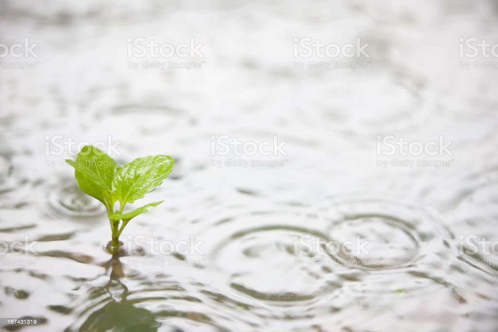 Plant in a puddle during the rain. royalty-free stock photo