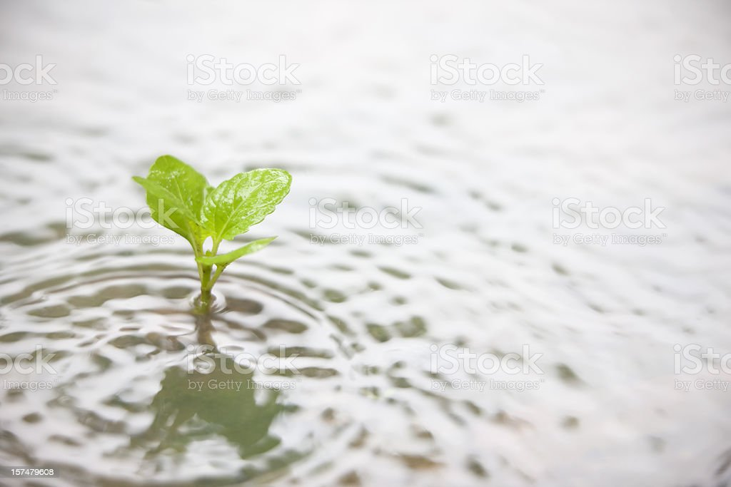 Plant in a puddle during the rain. stock photo