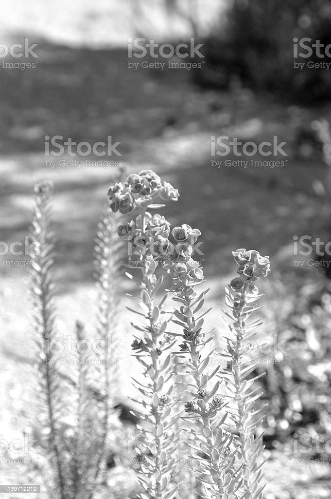 Plant in Black & White royalty-free stock photo