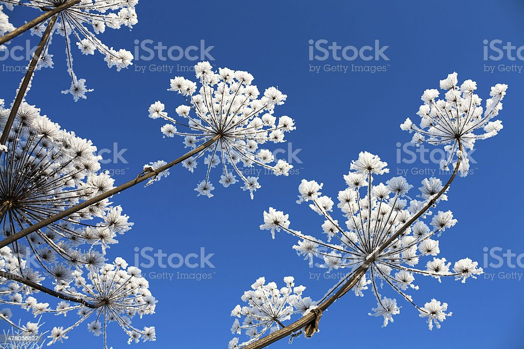 Plant in hoarfrost royalty-free stock photo