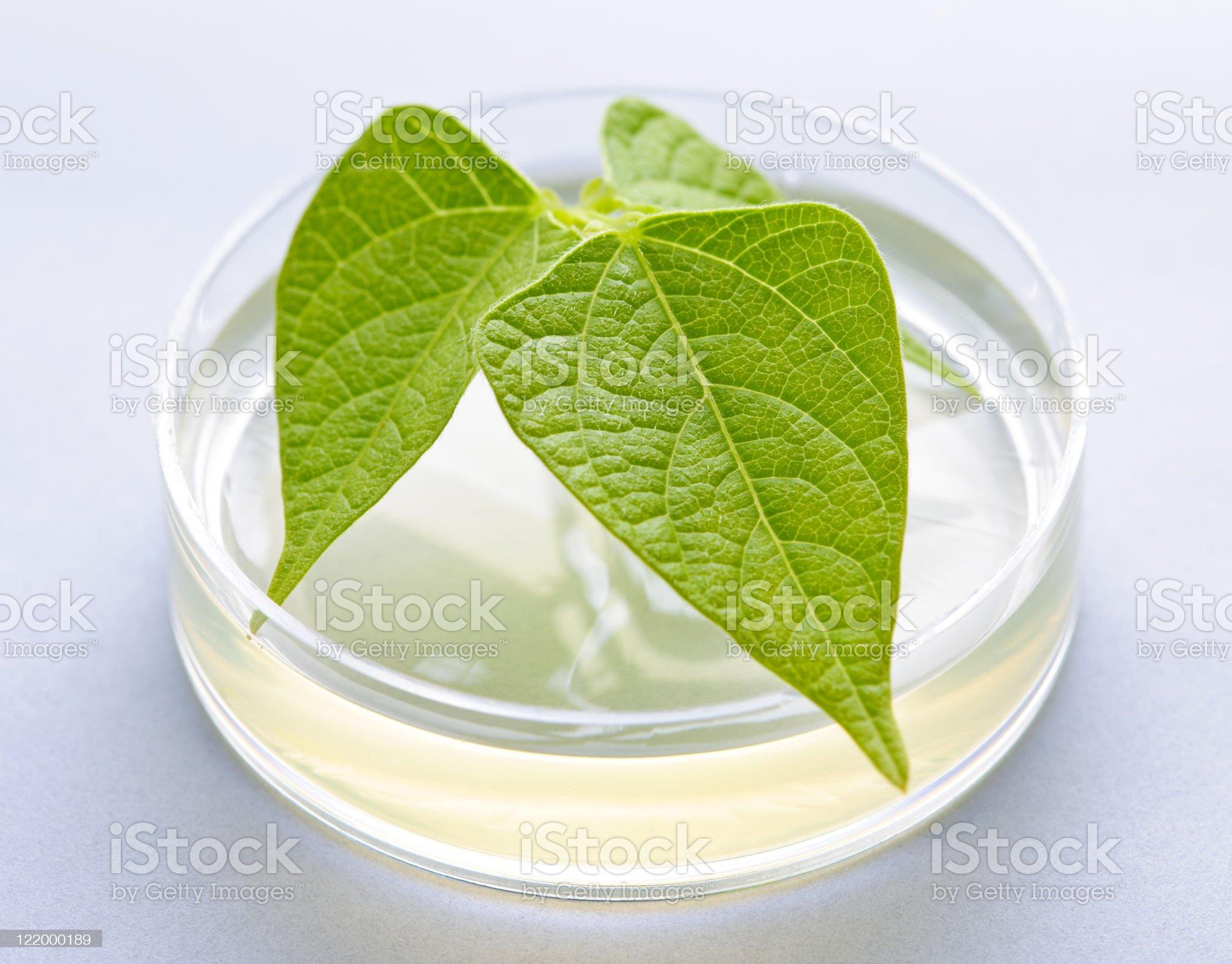GM plant in petri dish royalty-free stock photo