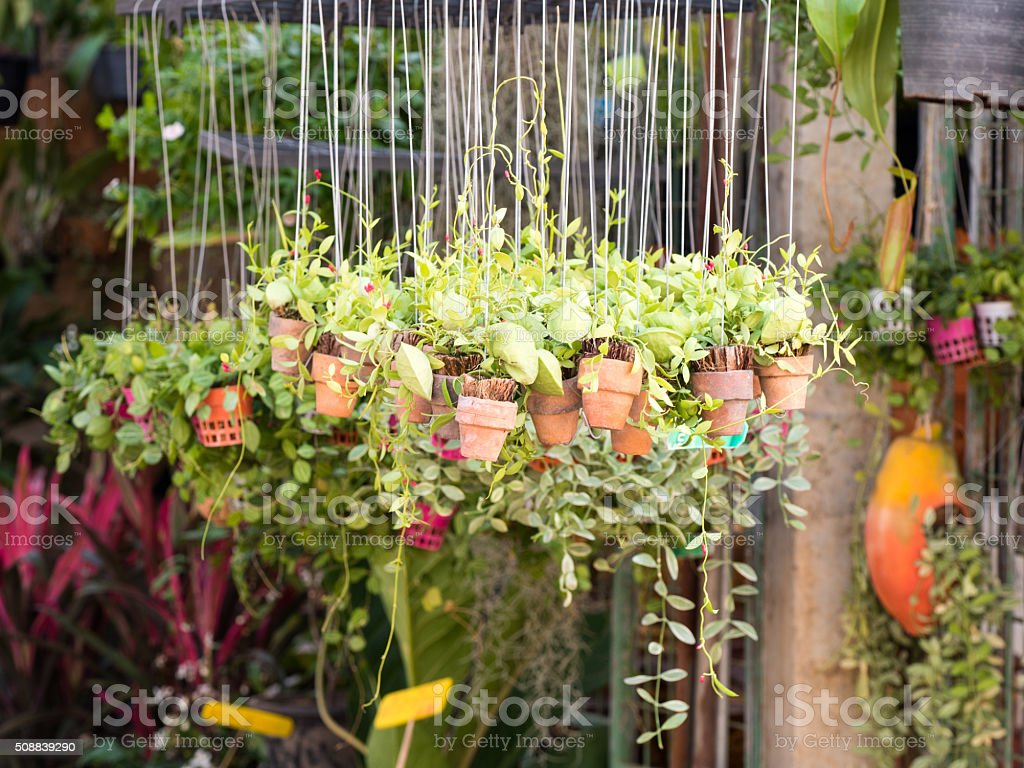 Plant in the hanging clay pots in garden stock photo