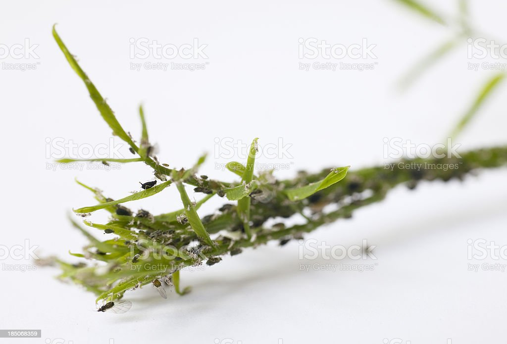 plant lice royalty-free stock photo