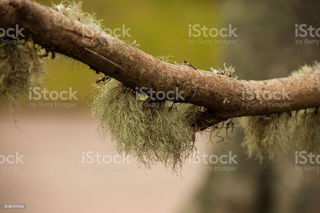 Plant - Lichen / moss covered branch stock photo