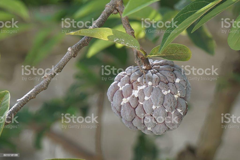 plant louse on fruit stock photo