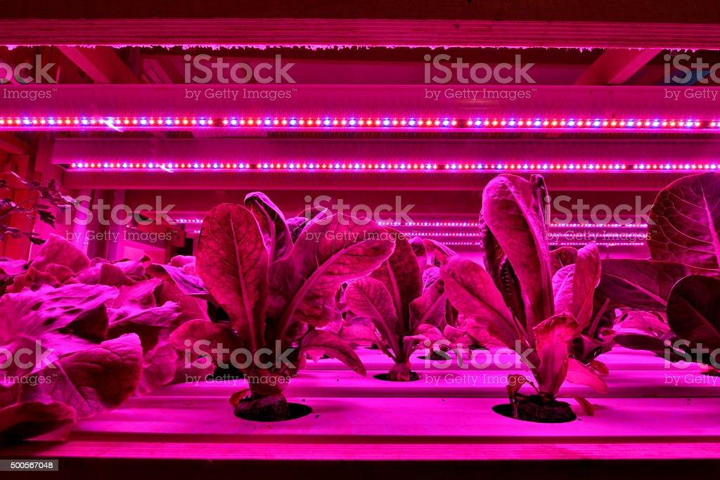 Plant nursery full of lettuce stock photo