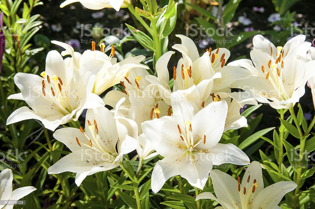 plant of flowering white lilies stock photo