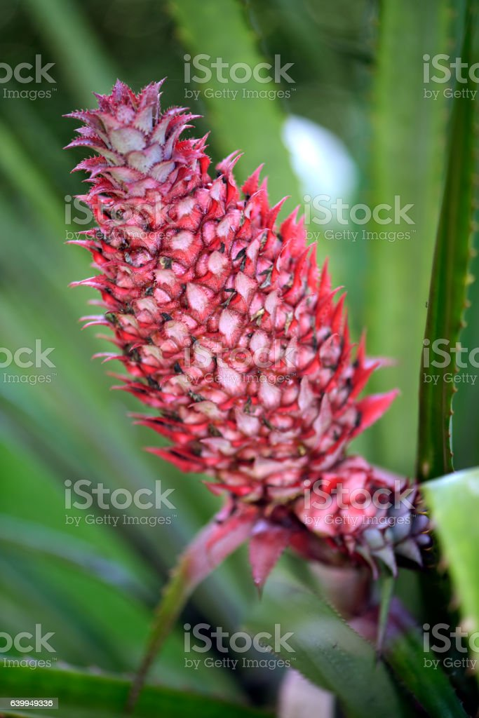 Plant of pineapple with fruit stock photo