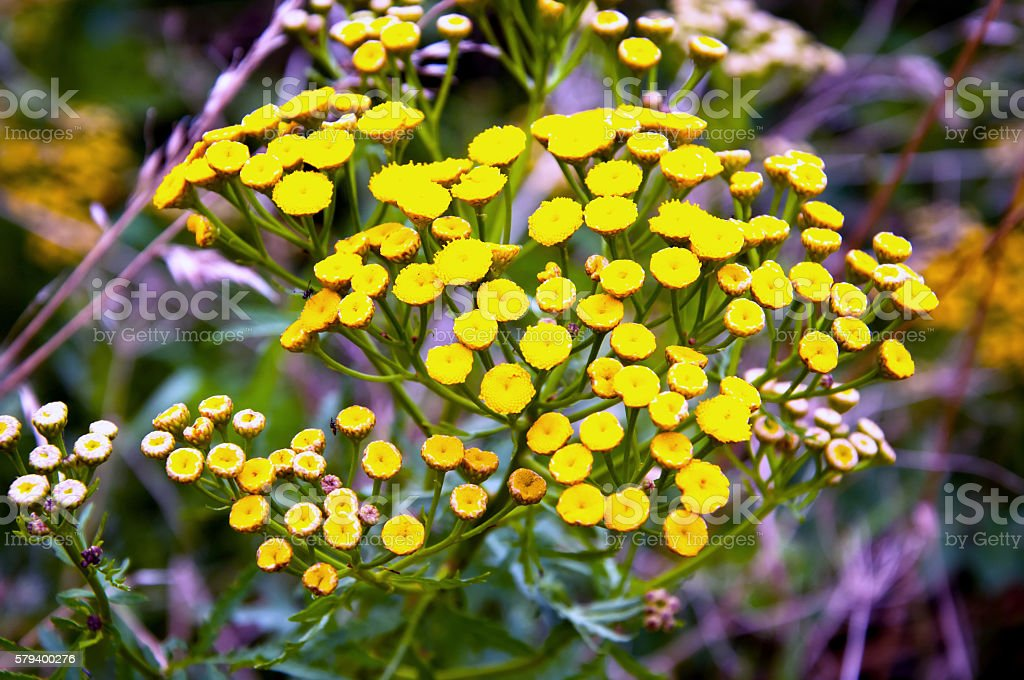 Plant of tansy (Tanacetum vulgare) stock photo