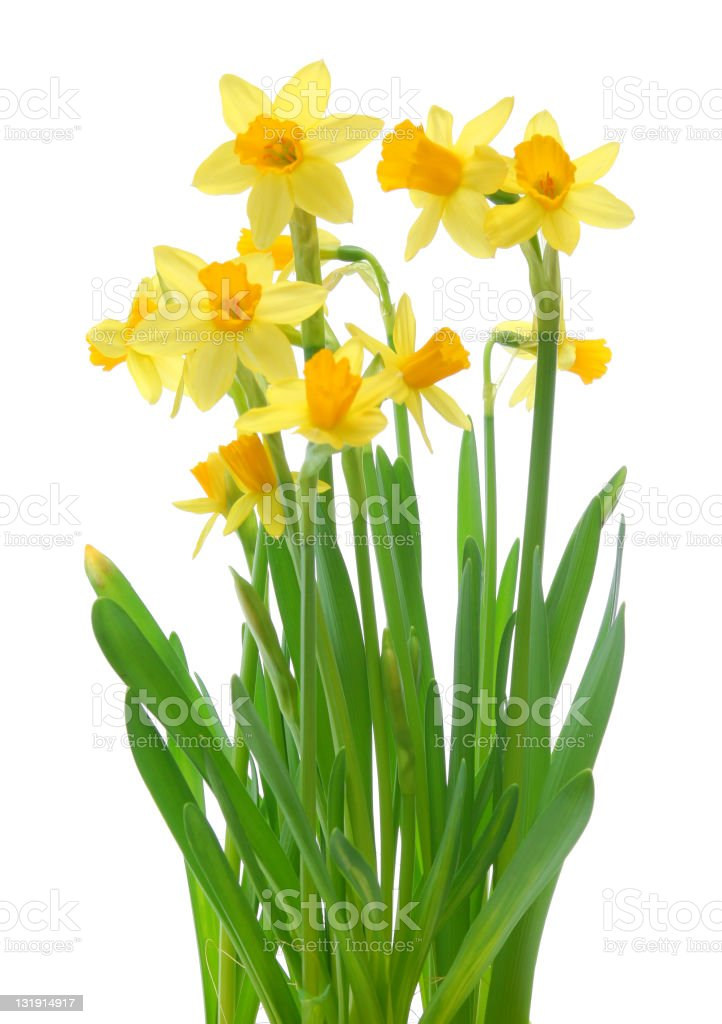 A plant of yellow spring daffodils on a white background royalty-free stock photo